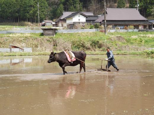 「牛 農耕 画像」の画像検索結果